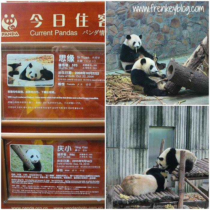 Panda Lucu di Rumah Panda - Chengdu