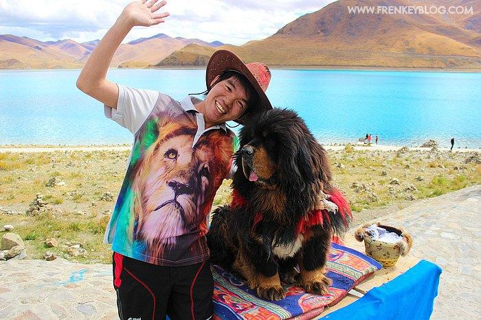 Lucu nya Anjing Tibetan Mastiff ( Yang Sebelah Kanan ya.... )
